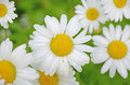 Flower background white daisies close-up on blurred green Royalty Free Stock Photo