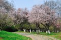 Flowers of wild Apricot Tree Royalty Free Stock Photo
