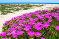 Flowers on a wild beach in Portugal Algarve. Royalty Free Stock Photo