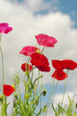 Flowers of wild pink poppy against the blue sky Royalty Free Stock Photo