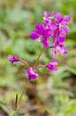 Flowers of Willow-herb Ivan-tea on blurred background Royalty Free Stock Photo