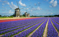 Flowers and windmills in holland purple pink hyacinth front of three the bulb region Royalty Free Stock Image