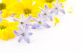 Flowers yellow chrysanthemums and blue hyacinth Royalty Free Stock Photo
