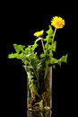 Flowers yellow dandelions in lab glass black background studio shot Royalty Free Stock Photo