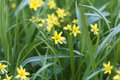 Flowers of Yellow Star of Bethlehem Gagea lutea