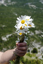 Flowers for you daisies bouquet in a child hand mum Royalty Free Stock Photography