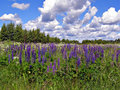 Flowerses lupines in field Stock Image