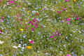 Flowery meadow Royalty Free Stock Photo