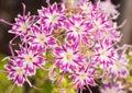 Flox cor de rosa e branco de beaufiful da estrela Imagens de Stock