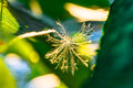 Fluff close up among the leaves backlit glowing green macro selective focus photo toned Royalty Free Stock Photo