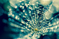 Fluff and dew drops Royalty Free Stock Photo