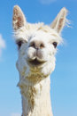 Fluffy alpaca with head held high in the sky Stock Photos