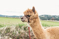 Fluffy alpaca with rein red Royalty Free Stock Photos
