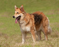 Fluffy Alsatian dog Stock Photography