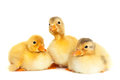 Fluffy baby ducklings in group isolated Stock Images