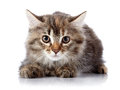 Fluffy beautiful scared cat on a white background with brown eyes striped not purebred kitten kitten small predator small Stock Photography