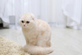 Fluffy beige kitten in room on floor Royalty Free Stock Photo