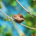 Fluffy bird posing Royalty Free Stock Photo