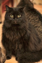 Fluffy black cat on a gray background Royalty Free Stock Image