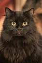 Fluffy black cat on a gray background Royalty Free Stock Photo
