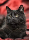 Fluffy black cat on a red background Royalty Free Stock Photo