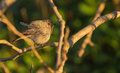 A fluffy black redstart female phoenicurus ochruros with plumage perching on branch Royalty Free Stock Image
