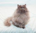 Fluffy black smoky cat with yellow eyes sitting on pale blue background Stock Photo