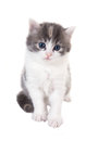 Fluffy blue eyed kitten sitting on white background isolated Royalty Free Stock Photo