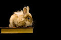 Fluffy brown rabbit sitting on a book Stock Images