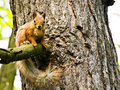 Fluffy brown squirrel Stock Images