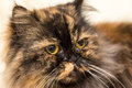 Fluffy cat with big shiny eyes portrait Royalty Free Stock Photography