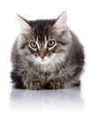 Fluffy cat with brown eyes striped not purebred kitten kitten on a white background small predator small Stock Photography