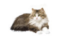 Fluffy cat lying on a white background Royalty Free Stock Photo
