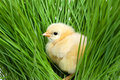 Fluffy chick on green grass cute Royalty Free Stock Photo