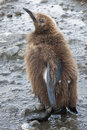 Fluffy chick of a king penguin Royalty Free Stock Photo