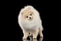Fluffy cute white pomeranian spitz dog standing curiously looking isolated and on black background in front view Stock Image