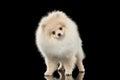 Fluffy Cute White Pomeranian S...