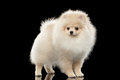 Fluffy Cute White Pomeranian Spitz Dog Standing isolated on Black