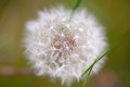 Fluffy dandelion close up of Royalty Free Stock Images