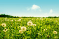 Fluffy dandelion flowers on a green field high resolution photo in best quality Stock Photos