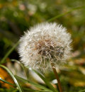 Fluffy dandelion on green Royalty Free Stock Photography