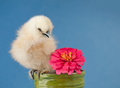 Fluffy Easter chick sitting in a small flower pot Stock Photography