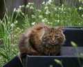 Fluffy Farm Cat Royalty Free Stock Photos