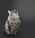Fluffy feline cute sitting on a black background Stock Photography