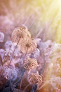 Fluffy flower softness flower in meadow lit by sunrays Royalty Free Stock Photography