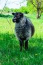 Grey sheep on a meadow