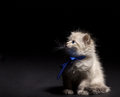 Fluffy kitten with blye eyes smoky looking up on black background Royalty Free Stock Images