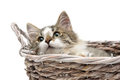 Fluffy kitten lying in a basket on a white background Royalty Free Stock Photo