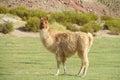 Fluffy lama