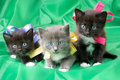 Fluffy little kittens Royalty Free Stock Photo
